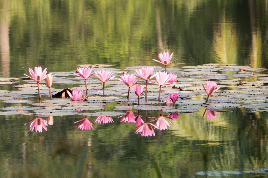 The pond is wonderfully adorned with an infinite number of blossoming water lilies.